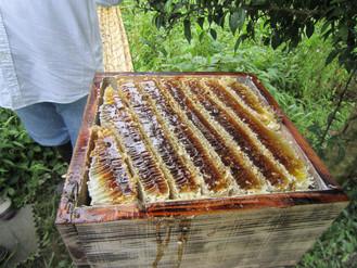 重箱式巣箱からの採蜜イベントの手伝いをしました。