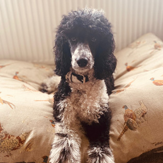 Percy The Poodle in Black