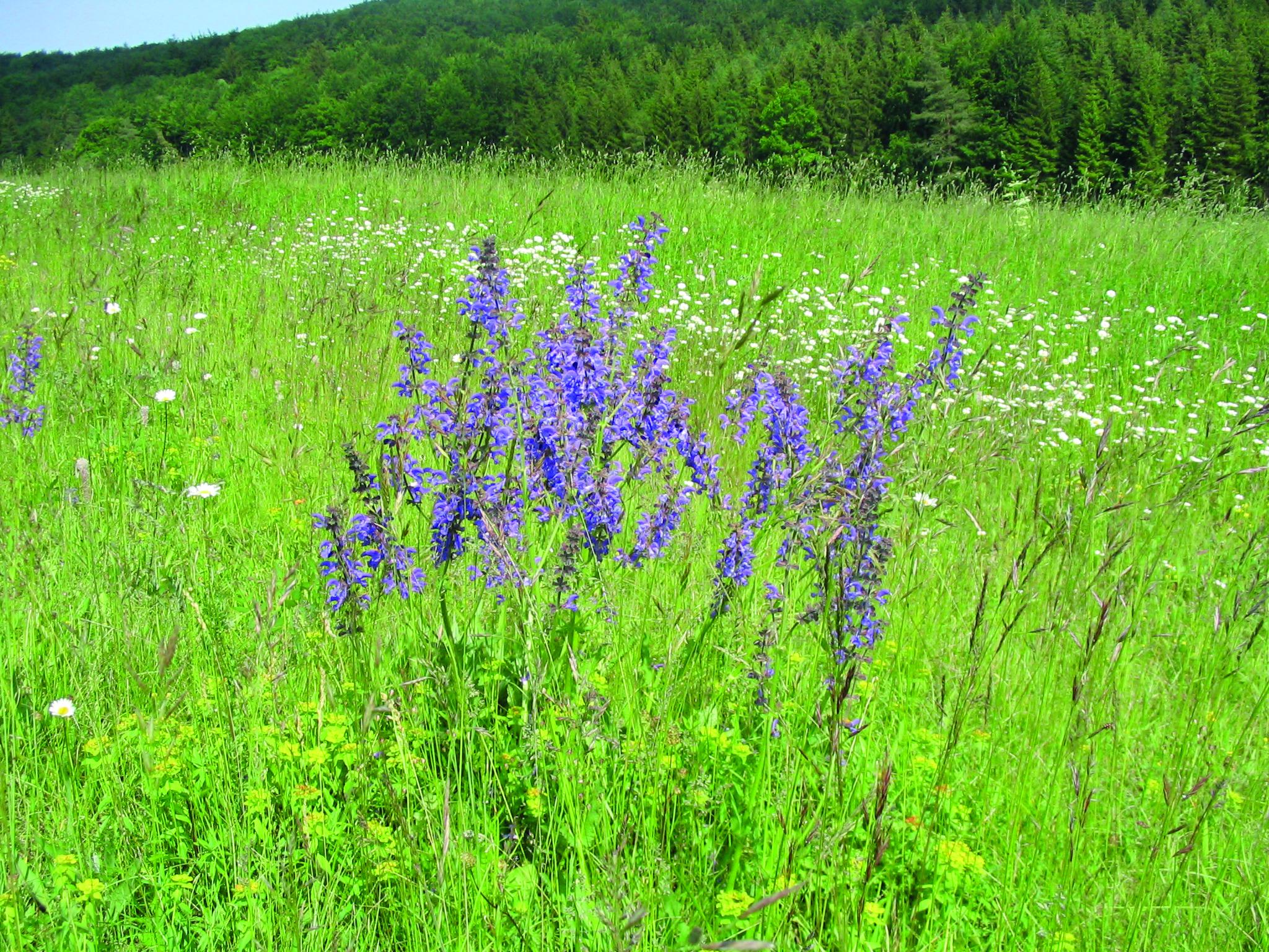 Schwäbische Blumenwiese