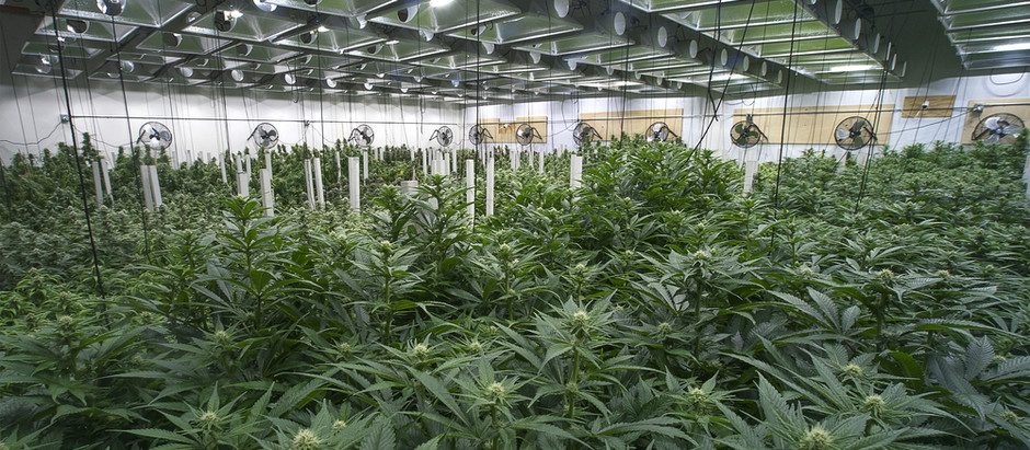 Terminating Hidden Ownership of a Marijuana Cultivation Facility