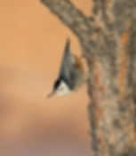 Bryce_White_Breasted_Nuthatch9138_R7.jpg