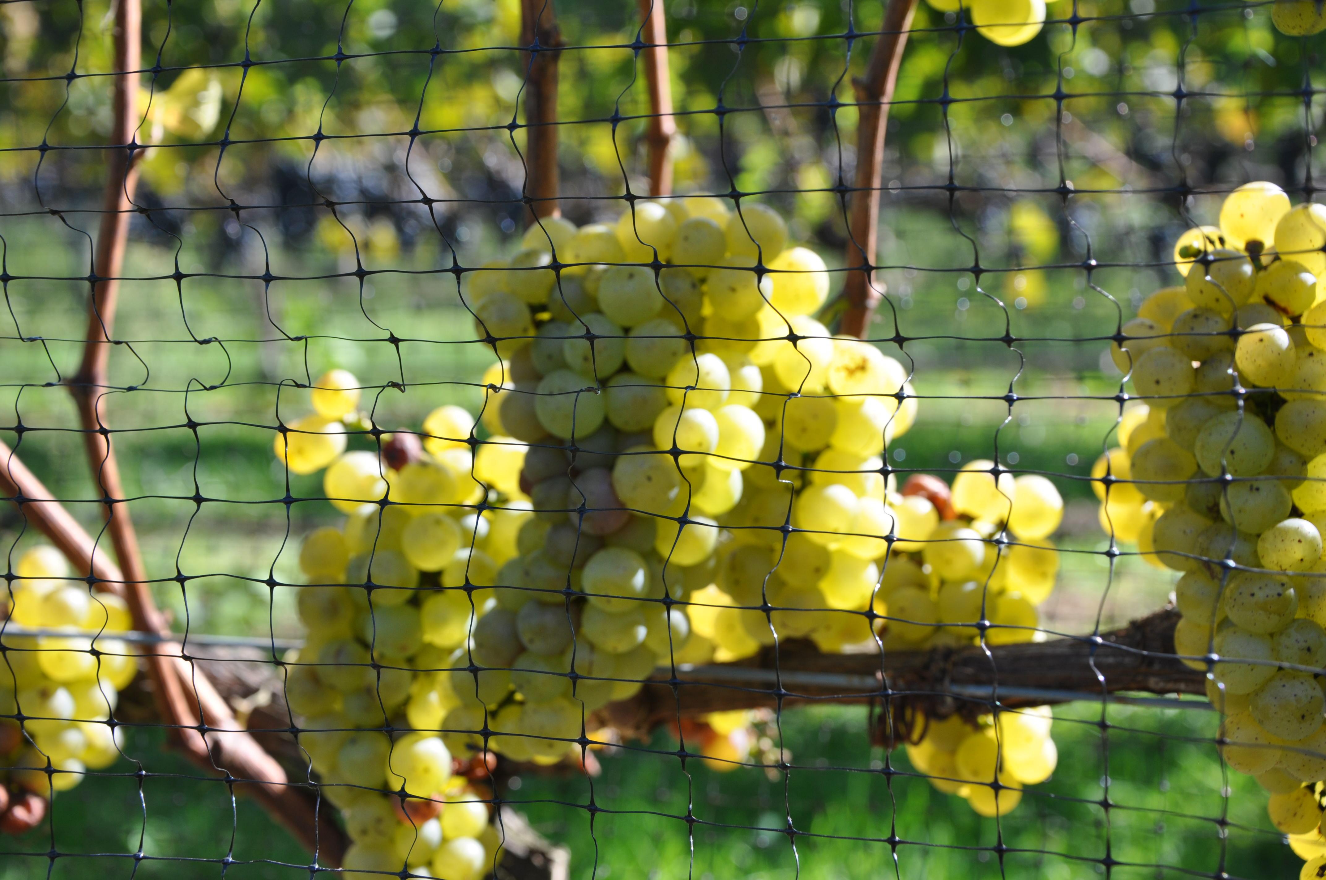 grape varietal