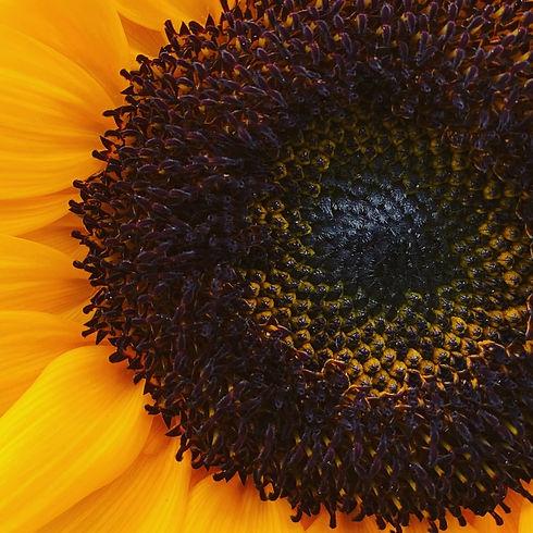 Sunflower July.JPG