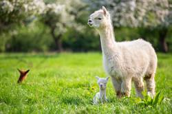 Lama Trecking
