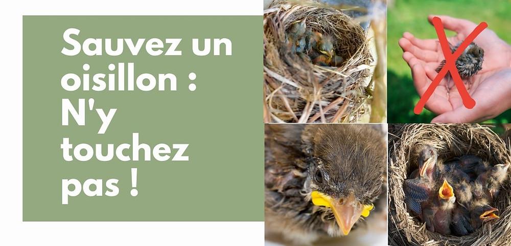 Les oisillons sont au nid ou au sol pour de bonnes raisons. Leurs parents veillent. Appelez nous pour vous orienter si besoin.