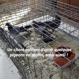 Pigeons piégés au cours d'une mission realisee par Bio Deratisation