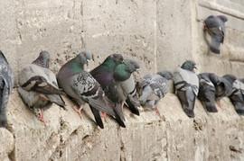 Pigeons dans une église BIO DERATISATION