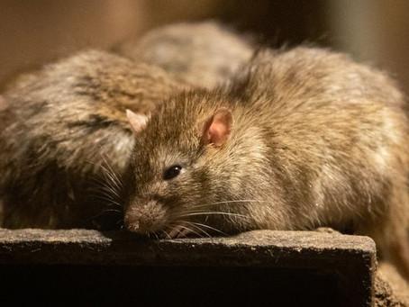 Un nouveau virus : Le VHE du rat