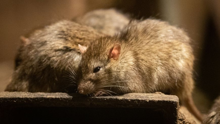 Un couple de rat - Bio Deratisation