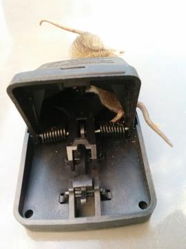 2 rats pris dans le même piège.jpg