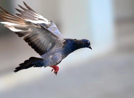 Pourquoi vouloir se débarrasser des pigeons ?
