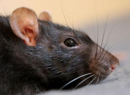 Les maladies transmissibles par les rats