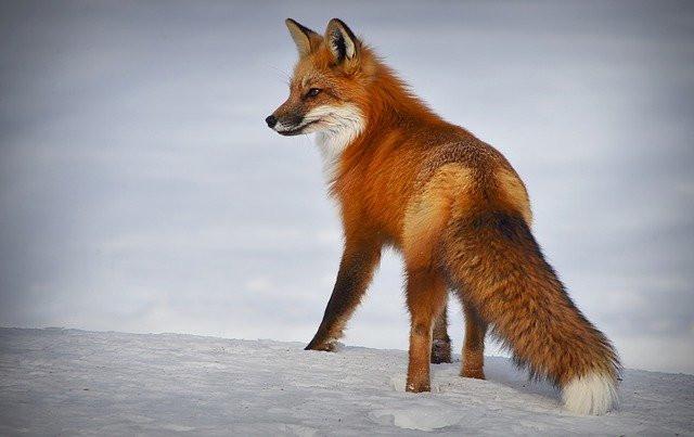 Un renard en hiver