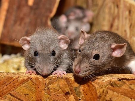 Faisons connaissance avec le rat