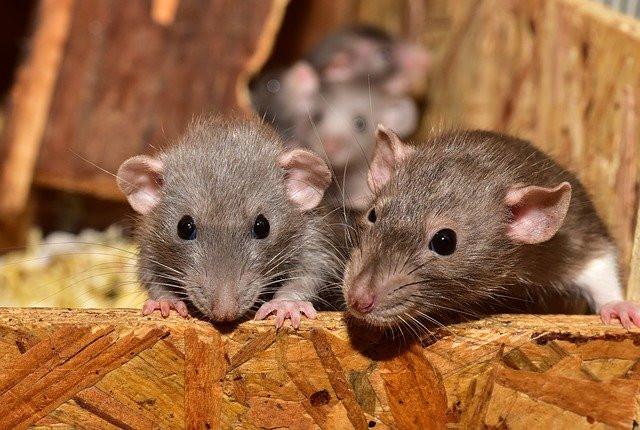 Une famille de rats bien installée dans un grenier