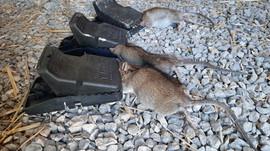 rats prélevés par Bio Dératisation-min.j