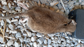 Rats preleves par Bio Deratisatin.jpg
