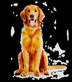kissclipart-golden-retriever-puppy-pet-f