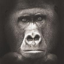 gorilla%201_bearbeitet_bearbeitet_bearbe