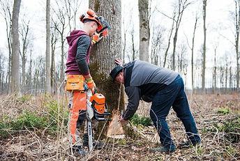 The Girsberger AG team fell a tree