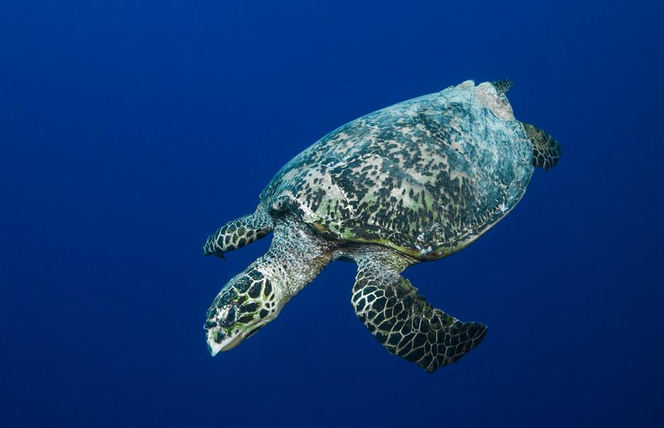 Palau: sea turtle