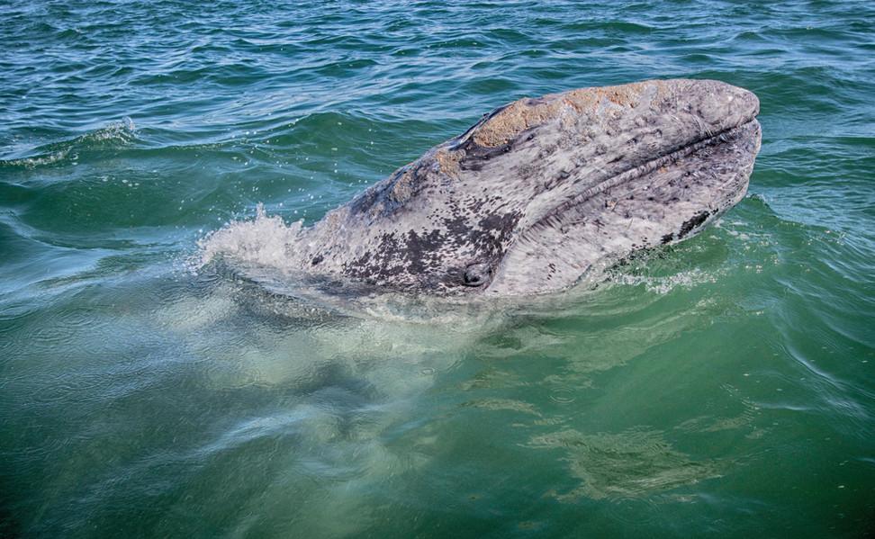 Baja: gray whale