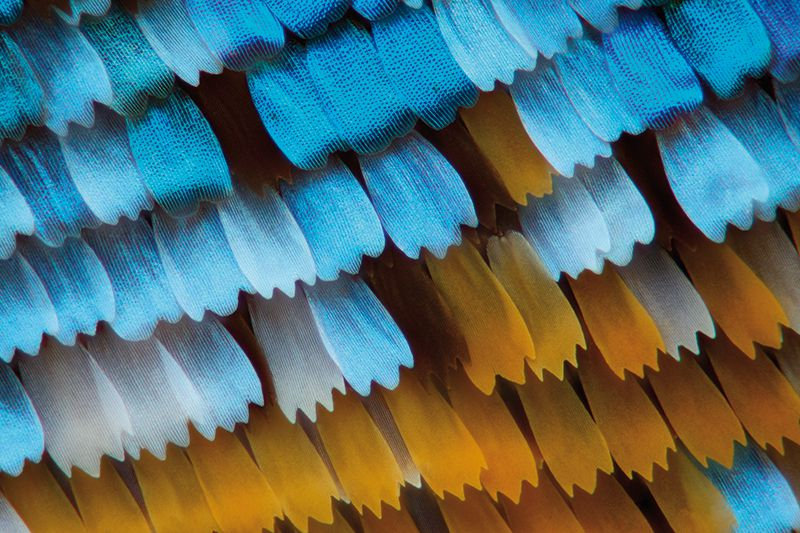 Smithsonian_butterfly-wing-scales.jpg
