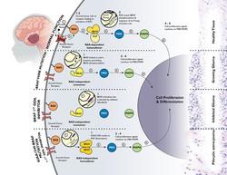 BRAF inhibitor (BRAFi) pathways