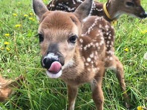 The Fawn