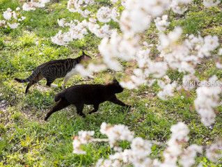 Cats and Cherry blossoms@Tama river bed