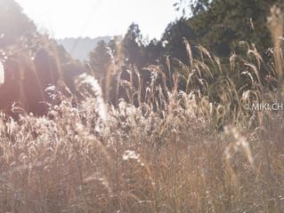 Susuki grass@Tanzawa