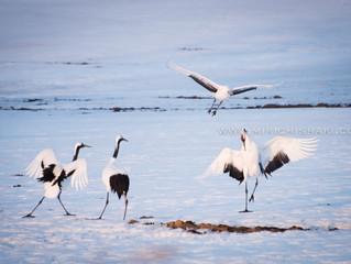 Wild Japanese crane in Hokkaido