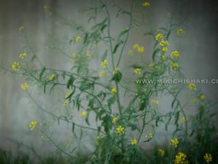 Canola flower〜菜の花