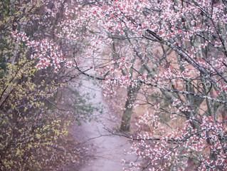 Cherry blossom in Mt.Yoshino