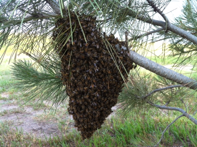 Cone Shaped swarm in a pine