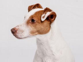 Koiran haimatulehdus