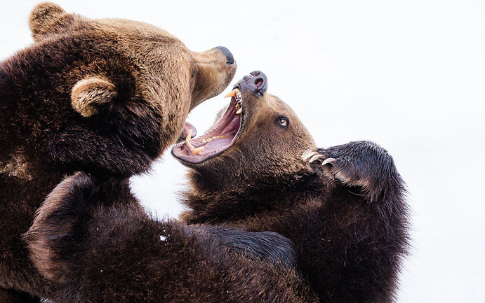 two%20brown%20grizzly%20bears_edited.jpg