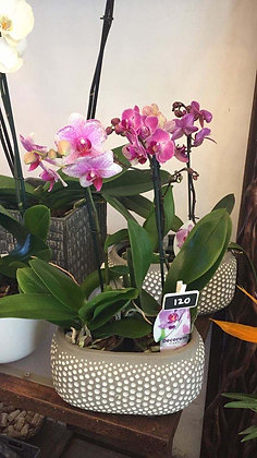 Orchidea Small