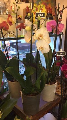 Orchidea Long