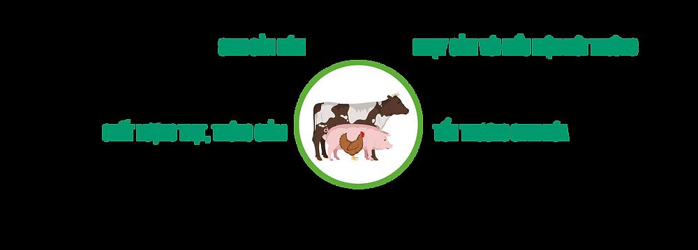Ảnh hưởng của stress oxy hóa lên hiệu suất vật nuôi