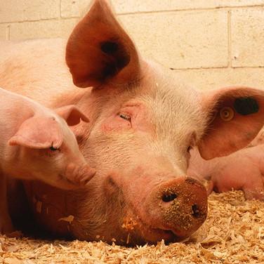 Pig Nutrition