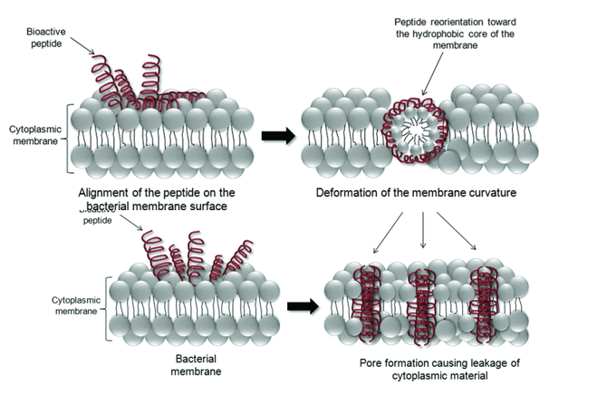 Peptides acting on the bacterial membrane