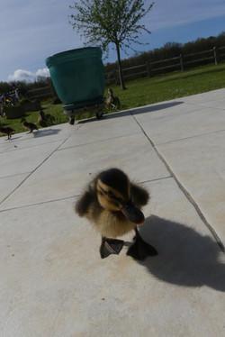 le petit canard prend la pose!