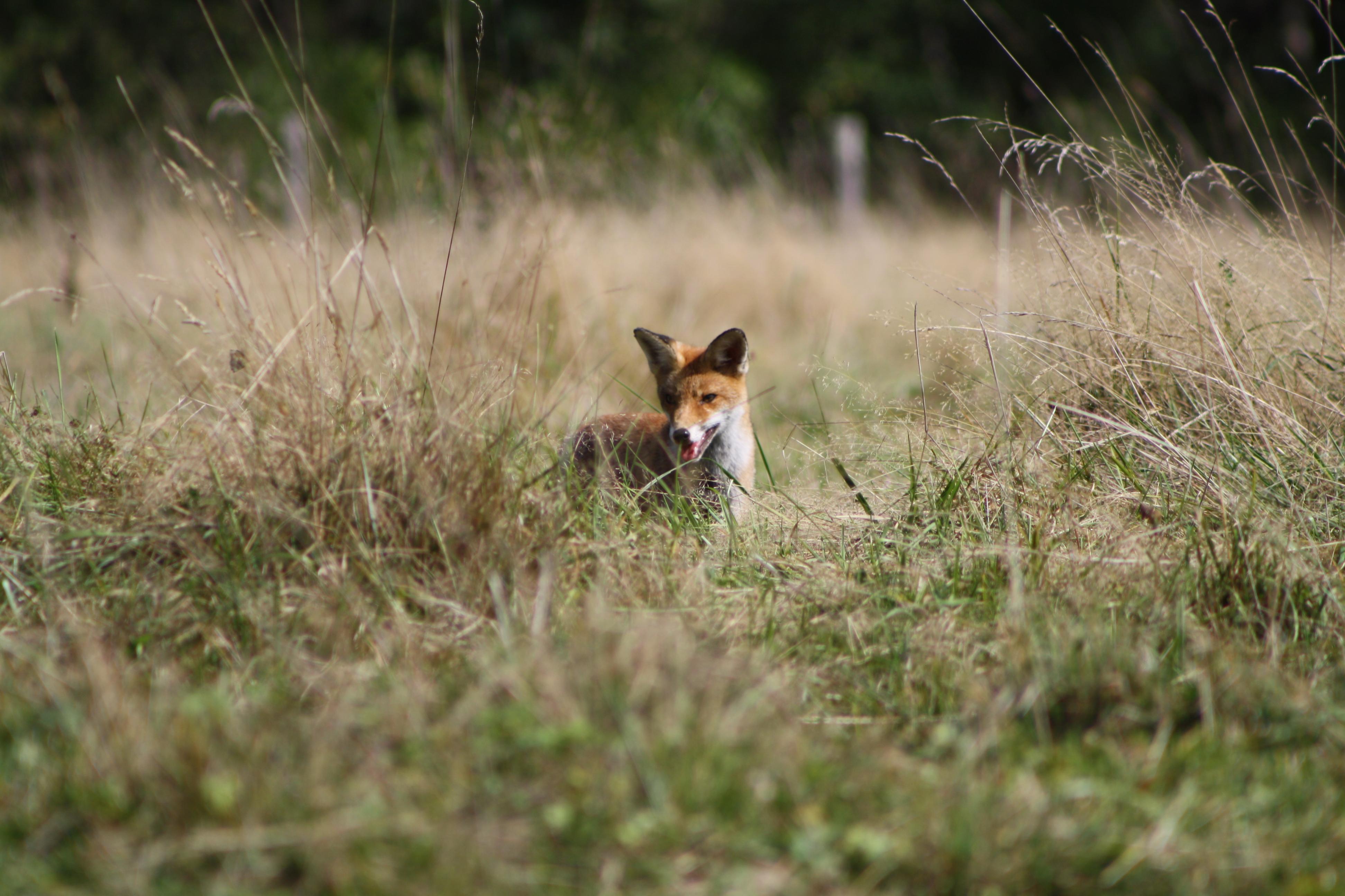 Charlot le renard!
