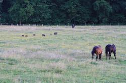 les sangliers parmi nos chevaux