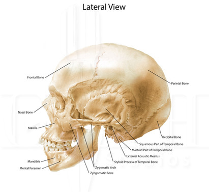 Skull anatomy (lateral view)