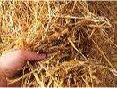 paddy straw.jpg