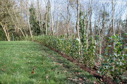 hedge laying bristol