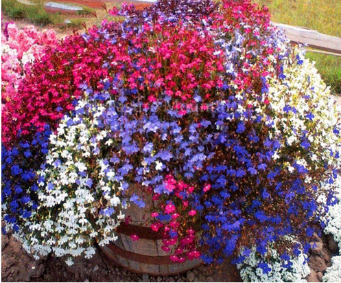 Trailing Lobelia Cascade Mixed Seeds