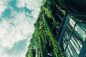 Grüne Efeu vom Dach